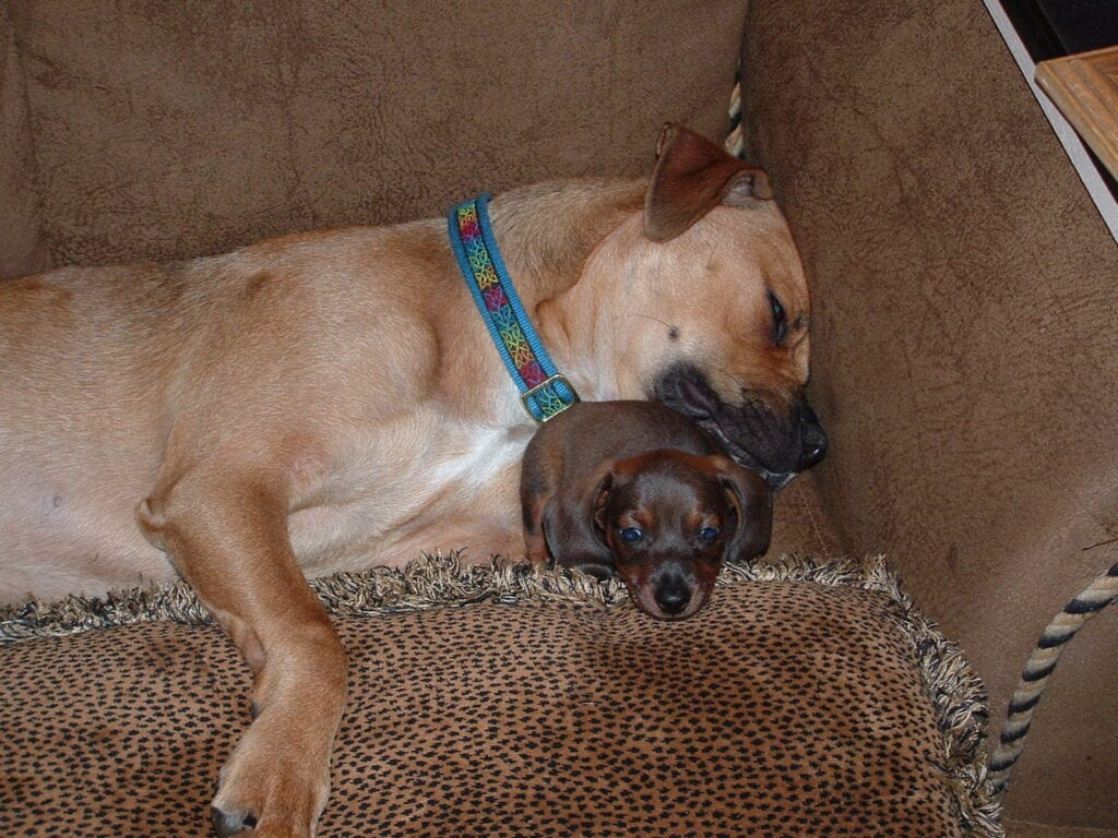 Boxer and Dachshund puppy sleeping on couch