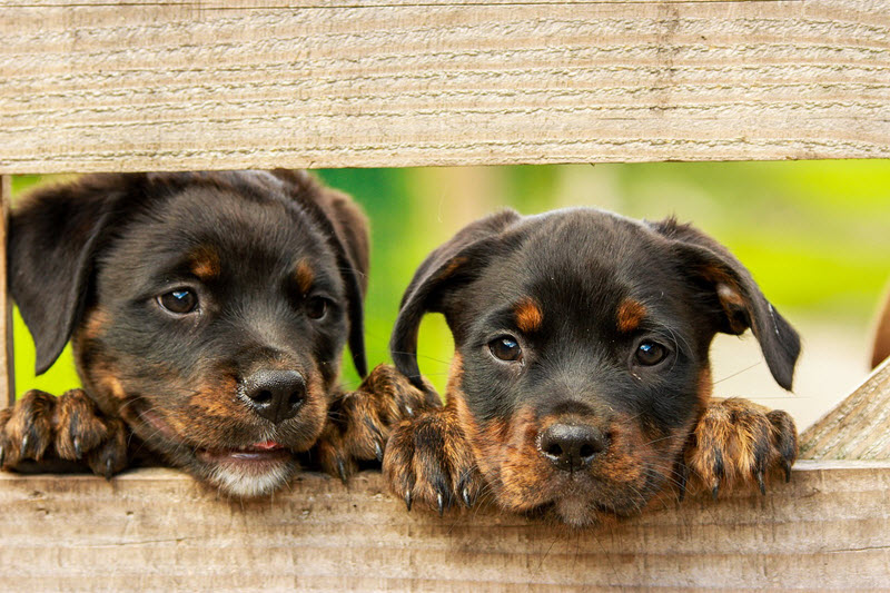 puppies looking through a fence
