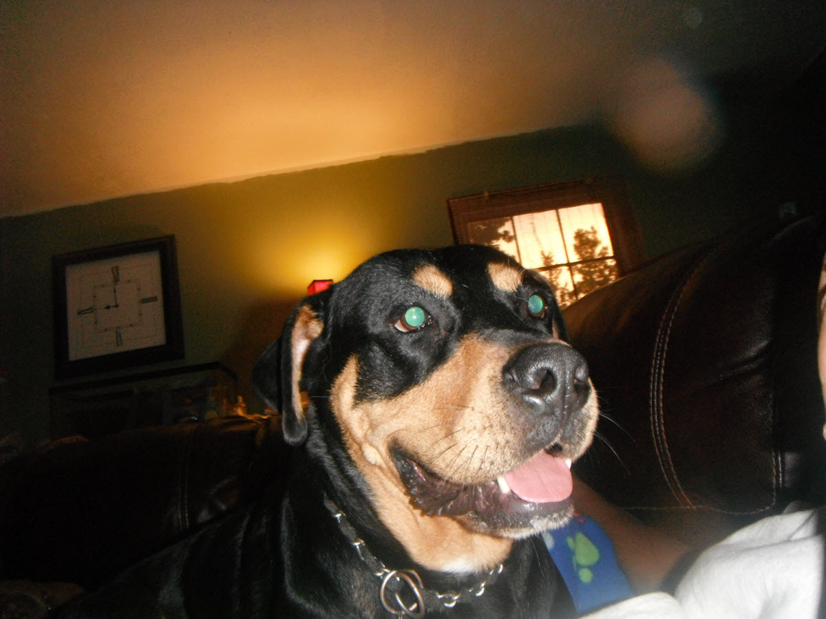 Cody - Rottweiler