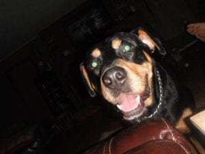 Cody the Rottweiler