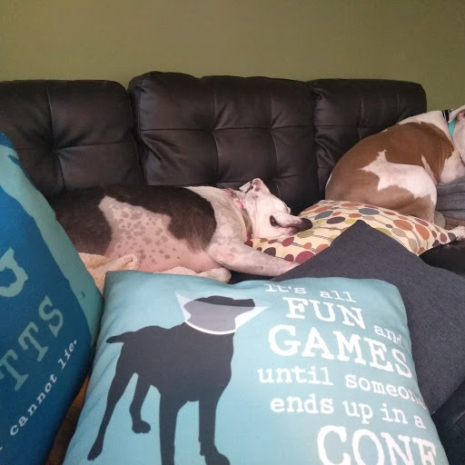 Rocket-and-Rusty-letting-sleeping-pit-bulls-lie
