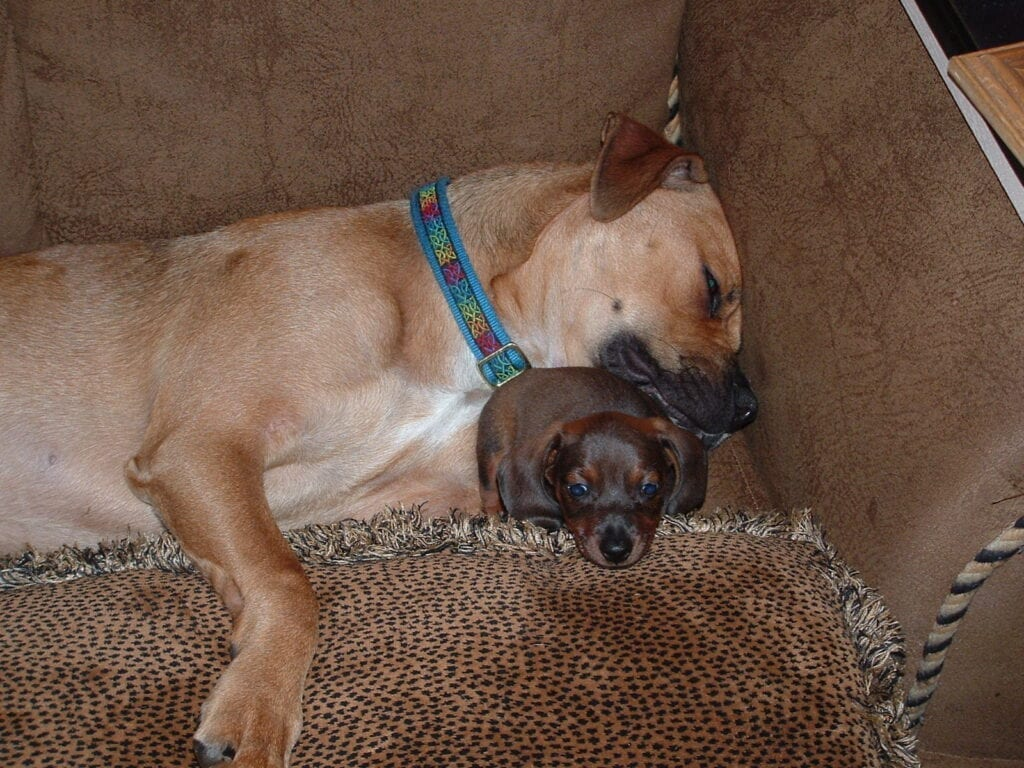 Bruno the boxer with dachshund puppy