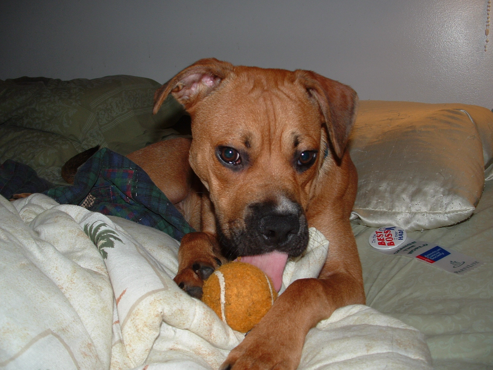 Bruno the boxer with tennis ball