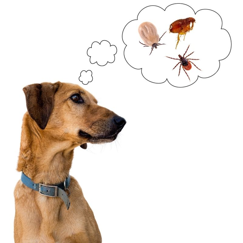 Dog thinking about fleas and other bugs