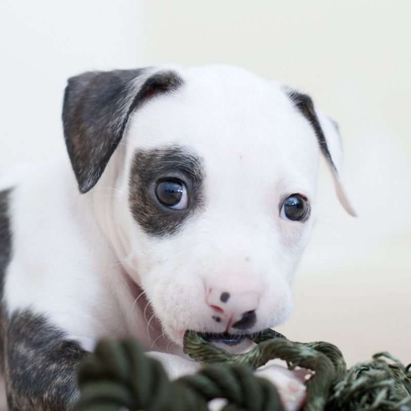 Pit bull puppy nibbling on rope