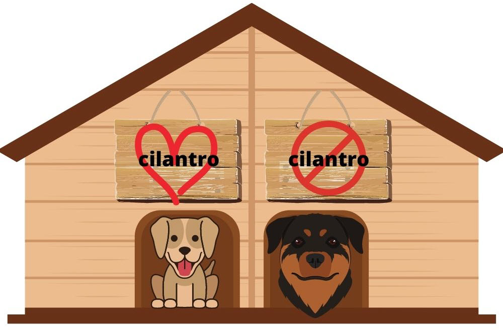 can dogs eat cilantro - doghouse divided